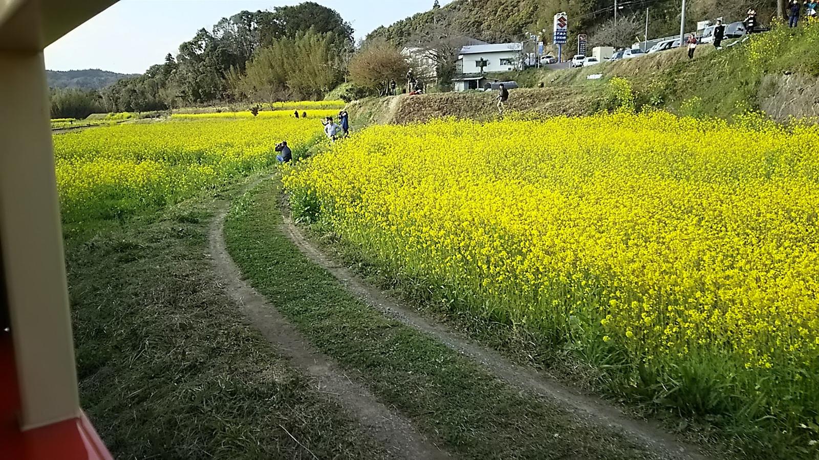 菜の花とトロッコ列車