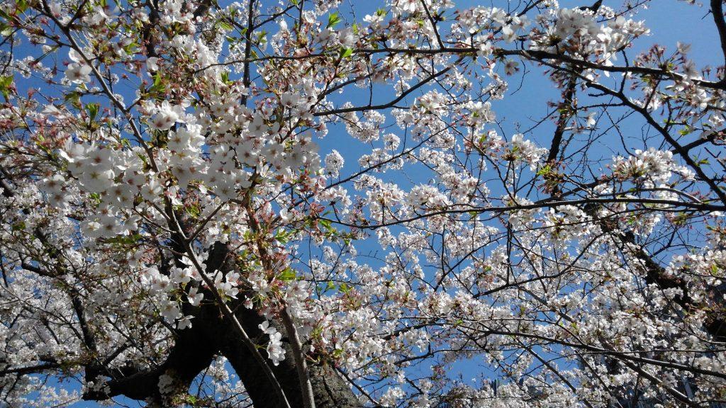 桜満開 神田川にて