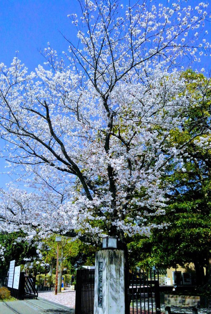 桜 自宅から目と鼻の先の某大学敷地内にて(色調はシネマ風に加工しています)